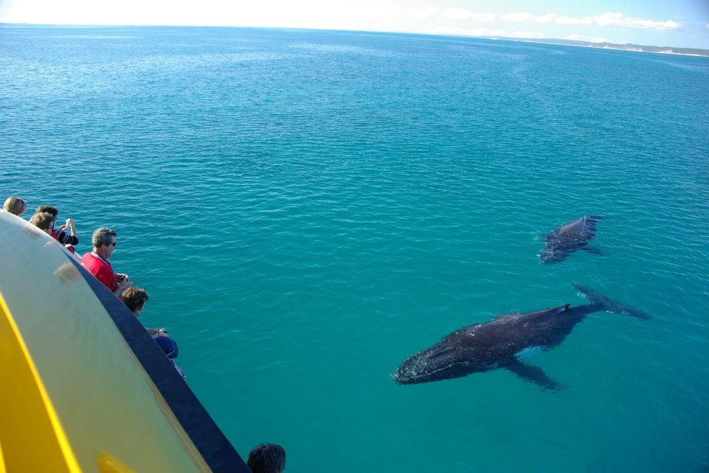 Whale Watching Fraser Island